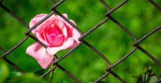 rose-3458142_1920